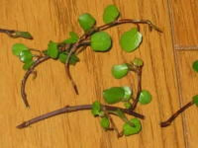 ワイヤープランツ挿し木