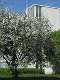 Pääkirjaston takana kasvava omenapuu on muistona puu Paavolan alueesta