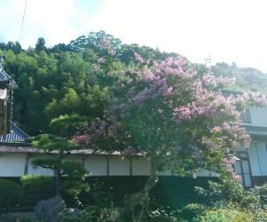 季節の花々(サルスベリ)