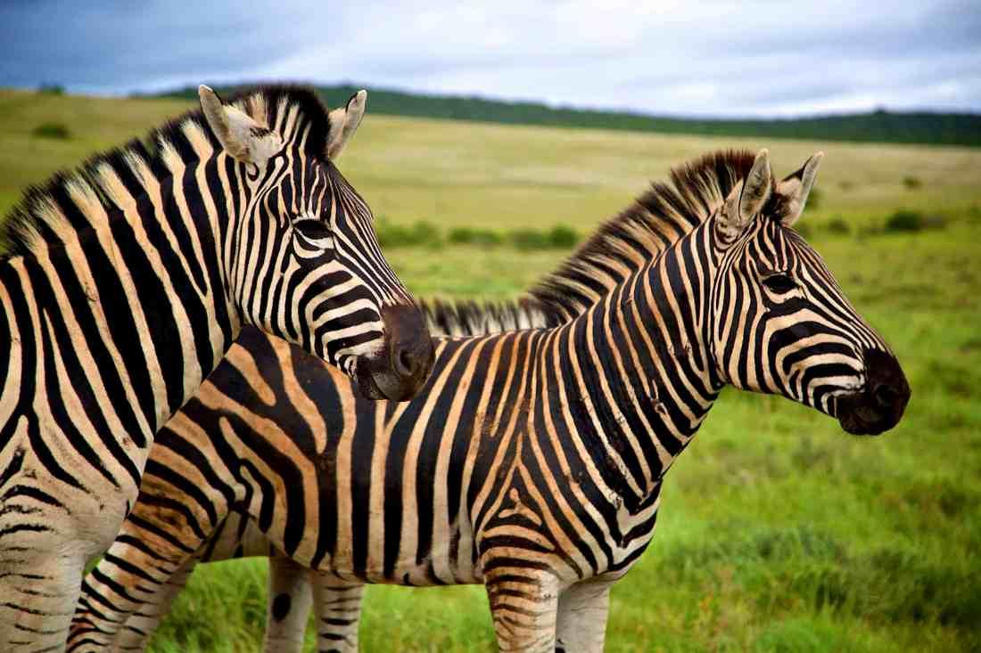 Addo Elephant Park _ Zebras