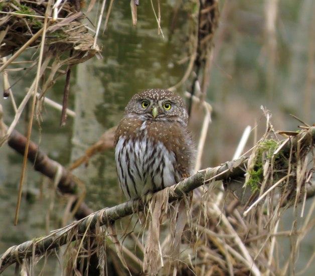 Owl6-1
