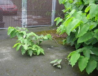 Giant knotweed growing up through asphalt.