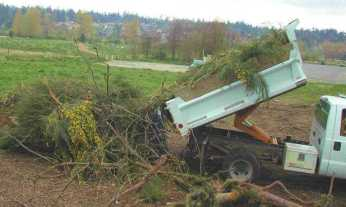 Scotch broom being gathered for disposal after removal at Marymoor Park