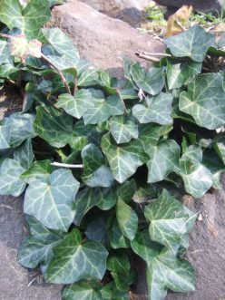 Photo of English ivy leaves growing on a rockery.