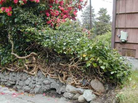 Photo of English ivy growing on a rock wall
