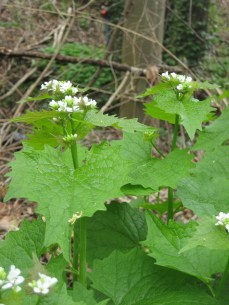 Garlic mustard's leaves and flowers.