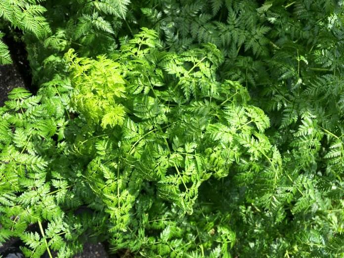 Poison-hemlock's fern-like lacy leaves.