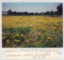 1979 photo of a large field full of tansy ragwort where Cinnabar larvae were released