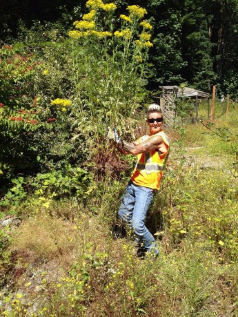 King County Roads vegetation crew member pulls large tansy ragwort plant.