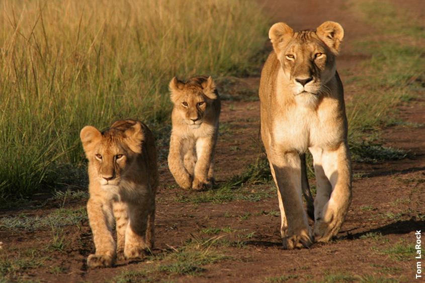 african-safari-lion-cubs-maasai-mara-kenya