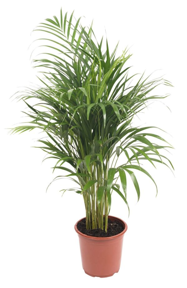 B&Q Green Palm tree in Plant pot | Departments | DIY at B&Q