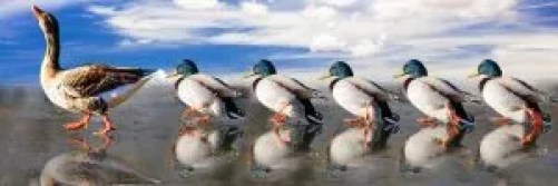 mirroring-ducks