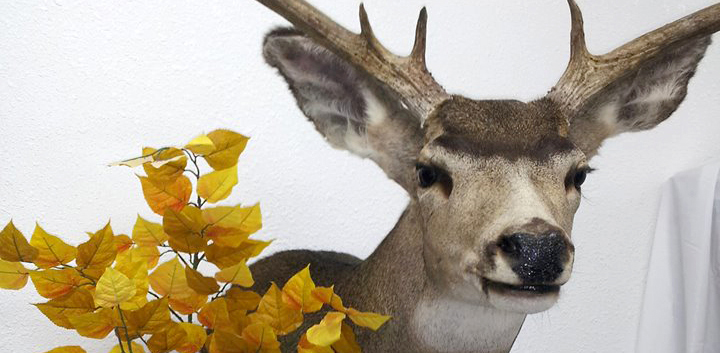 Down-Mount-Taxidermy-Taxidermist-Kingman-AZ-featured