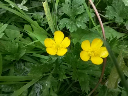 Buttercup (Ranunculus) yet to identify species