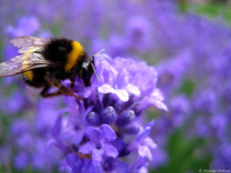 Honey bee collecting pollen from heather