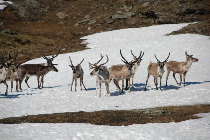 Reindeer cooling down on snow