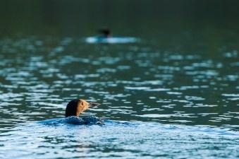 loon bird wildlife nature lake new england
