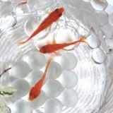お祭り金魚。金魚水槽の立ち上げのコツ!