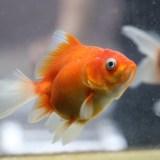 市場から「魚病薬」が消える…!?金魚の体調不良は塩で治す!塩水浴の効果とは?