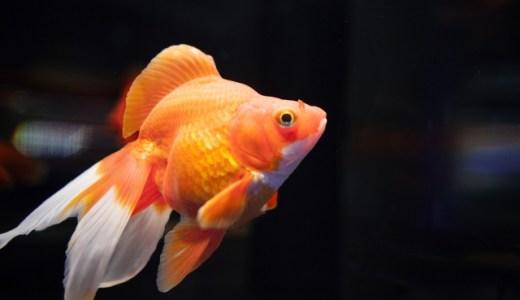 金魚の病気を早期に見抜くポイントをご紹介!