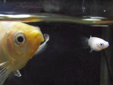 金魚とメダカ、一緒に飼えますか?