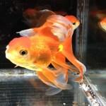 金魚を飼う時に役立つ記事まとめ