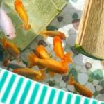 背の低い水槽で金魚を綺麗にみせる