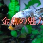 金魚の可愛らしさが爆発している件
