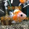 金魚図鑑 of 長生きさせる金魚の飼い方