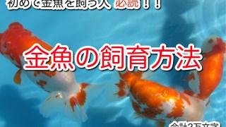 初めて金魚を飼う人に読んでほしい金魚の飼育方法がわかる記事