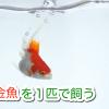 金魚を1匹で飼う 良いの?悪いの?