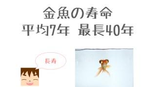 金魚の平均寿命は7年 最長で40年!? 実は金魚は長生きな件
