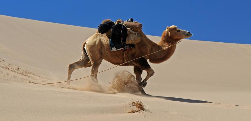 砂漠を行くラクダ