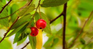 manfaat buah seri talok