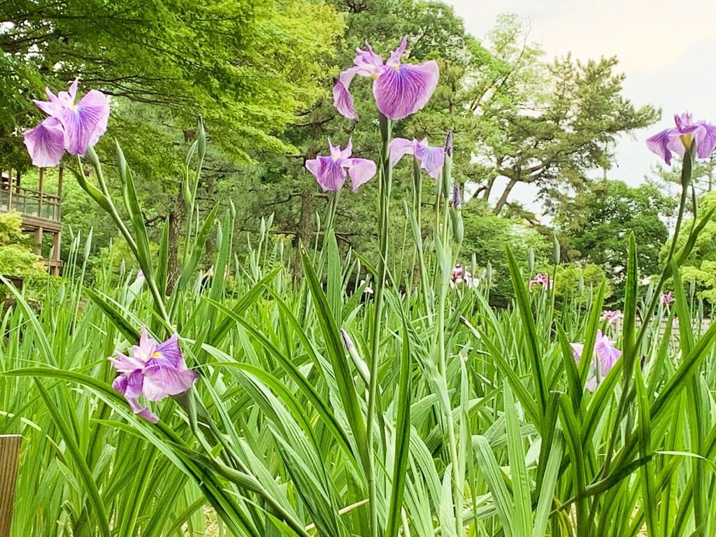 徳川園 菖蒲