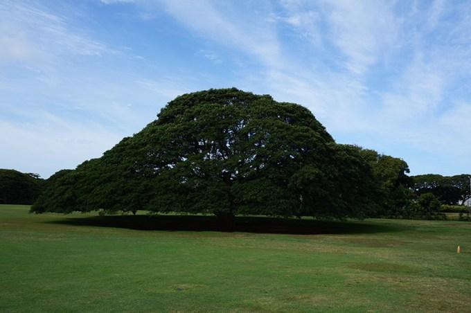 ホノルルのパワースポット「日立の樹」