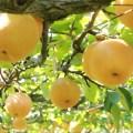 梨狩り,梨狩り 時期,梨狩り 持ち物,梨狩り 時期 関東