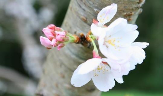 桜の開花宣言で基準になる標本木の住所と場所