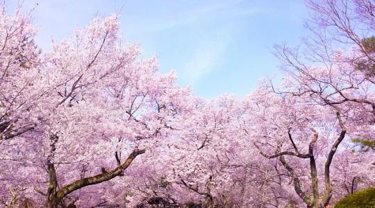 ゴールデンウイーク 北海道 桜