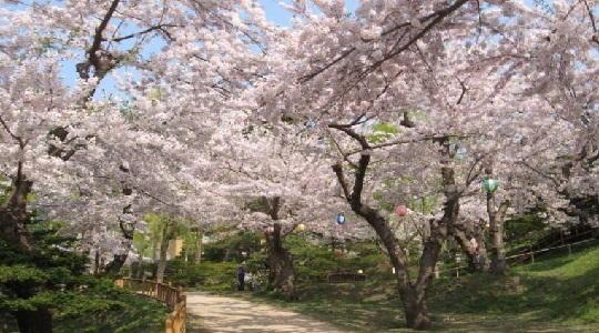 ゴールデンウィークに北海道旅行するなら函館公園の桜もおすすめ