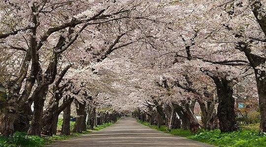 ゴールデンウィークに北海道旅行するなら北斗市の桜回廊は良いですよ