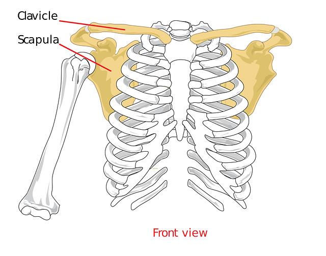 肩甲骨の仕組み