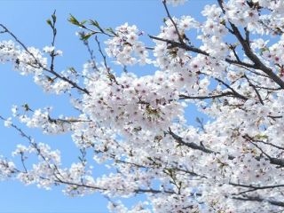 大岡川 桜 屋台