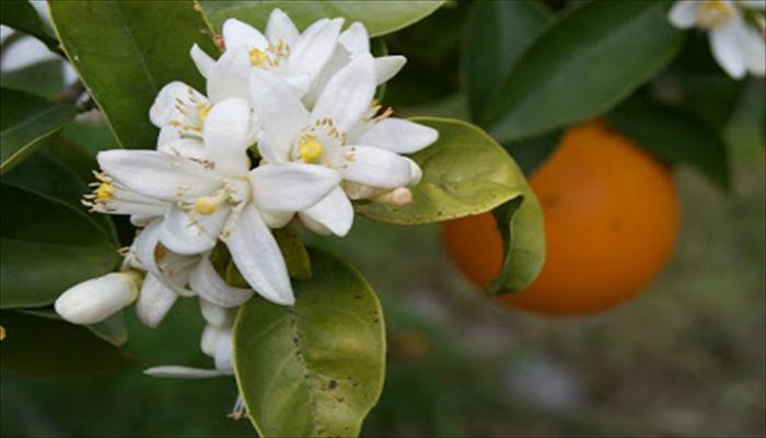 ジューンブライド 花 オレンジブロッサム