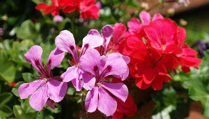 ジューンブライド 花 ゼラニウム