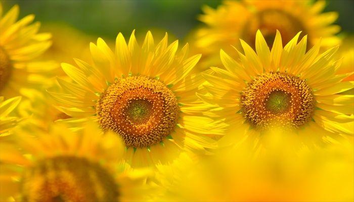 夏にすること 向日葵を見に行く