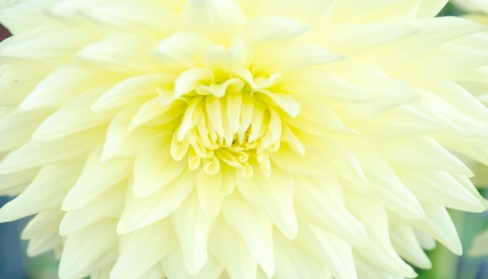 お彼岸を簡単にわかりやすく 菊