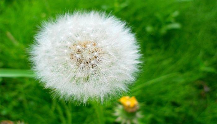 春にすること 春にしたいこと 春の遊び たんぽぽの種を飛ばす