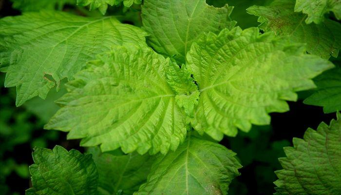 葉野菜 保存 シソ