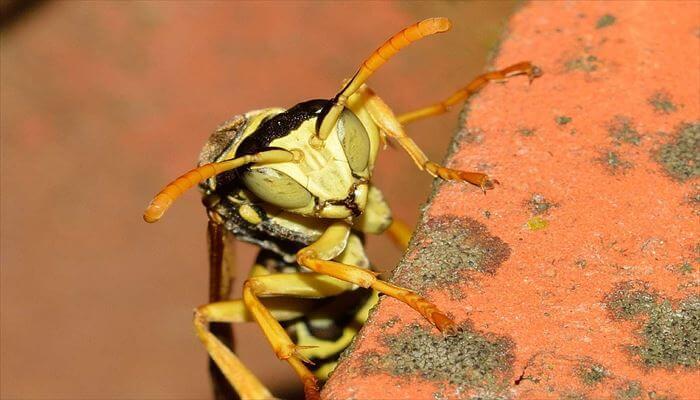 アシナガバチの習性